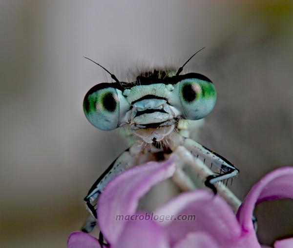 Портрет голубой стрекозы ( Coenagrionidae)