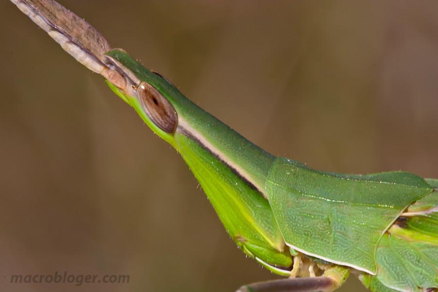 Акрида (Acrida bicolor)