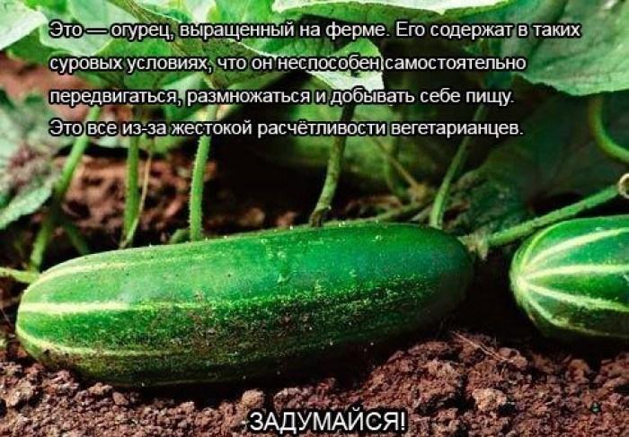 Гранулированный суперфосфат вносят в ряды при посеве (4—6 г на 1 м). Азотные удобрения дают под предпосевную...