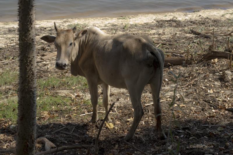 Молодой зебу