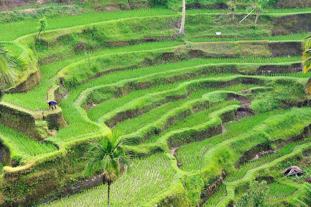 127-bali-rice-web