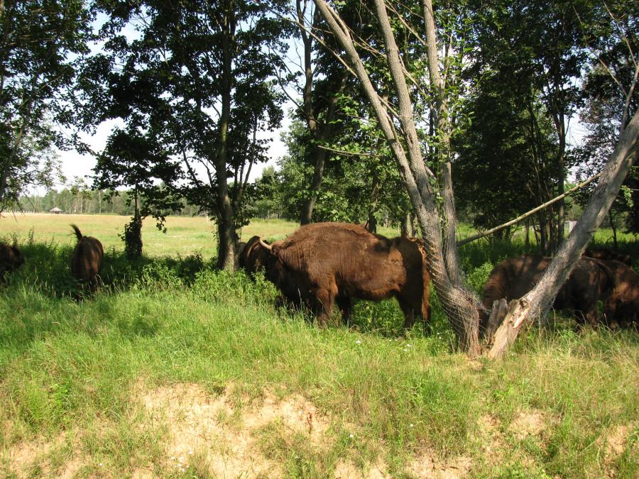 Зубры и олени подходят на  полутораметровое расстояние