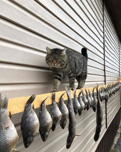 кот одурительный