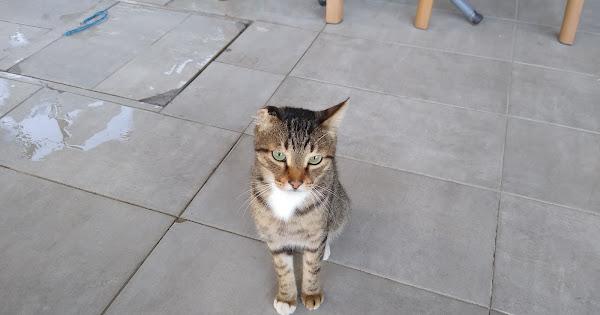 турецкий_кот
