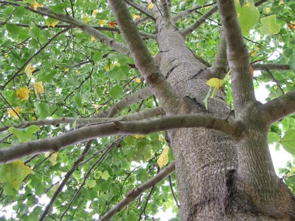 sherrys_tree_lewes