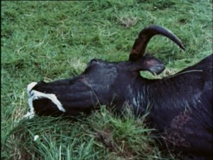 Cattle diseased (5)