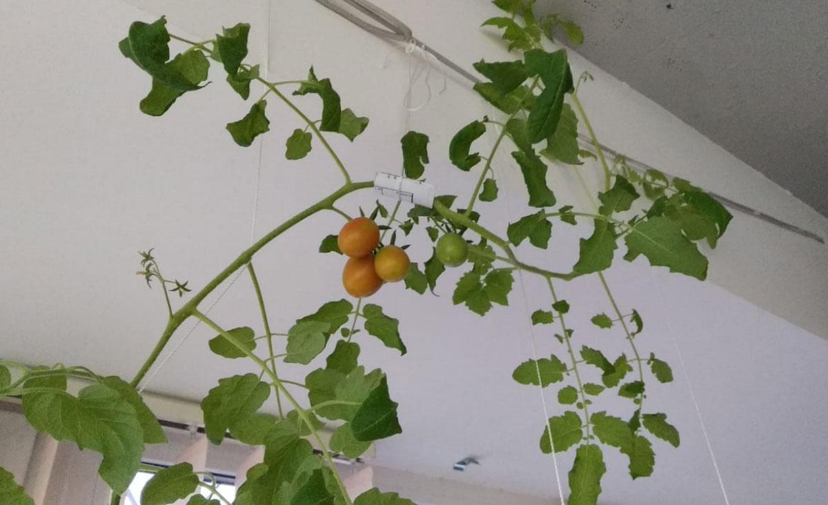 Выращиваем помидоры в офисе ТРИА Комплекса