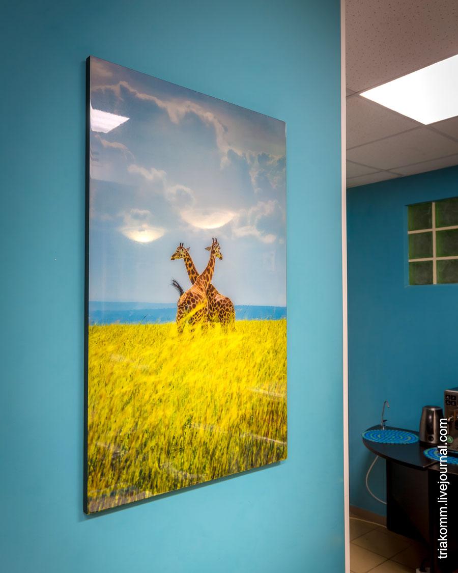 Цветное фото 2-х жирафов на дереве