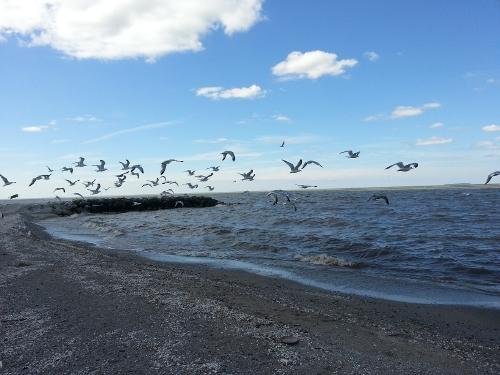 Lake Gulls