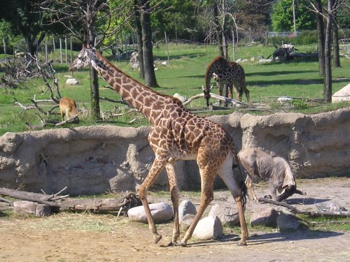 Giraffes & wildebeests and more