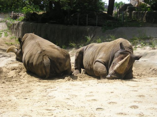 Why are rhinos grumpy?  Smelling rhino butts while sleeping...
