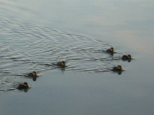 Duckling Formation