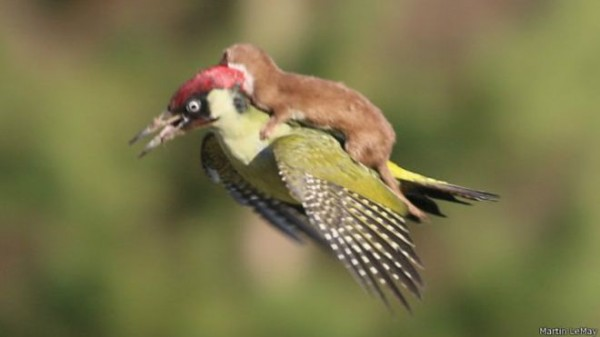 150303142051_woodpecker_624x351_martinlemay
