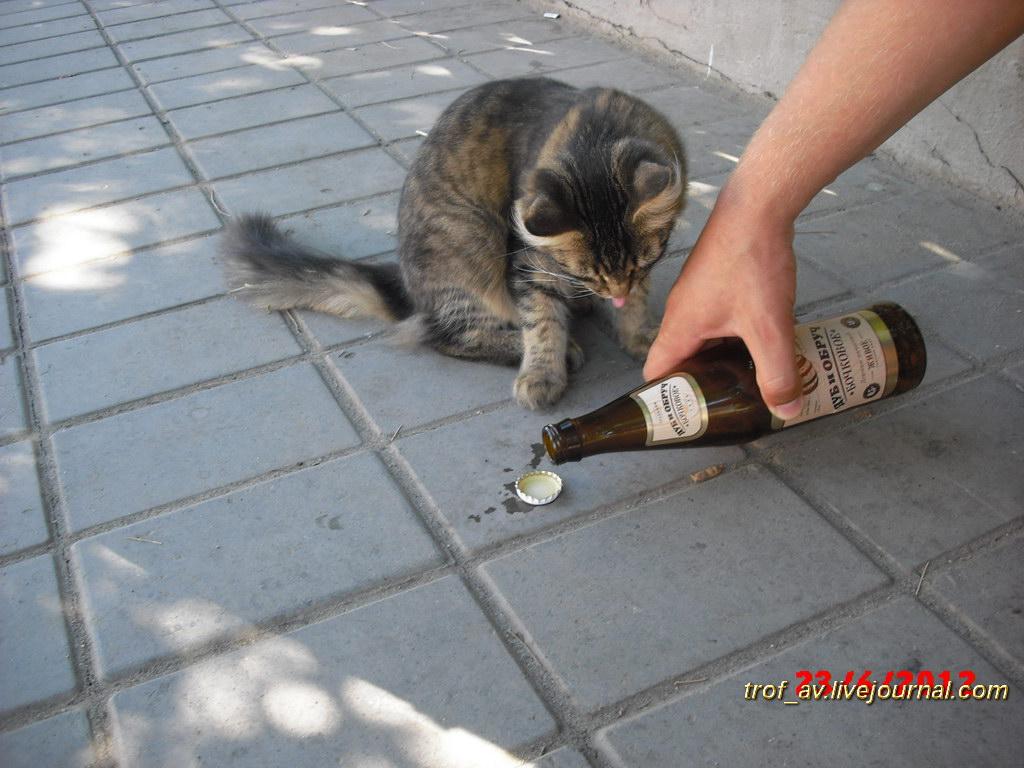 Кот-алкоголик
