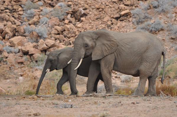 Пустынные слоны