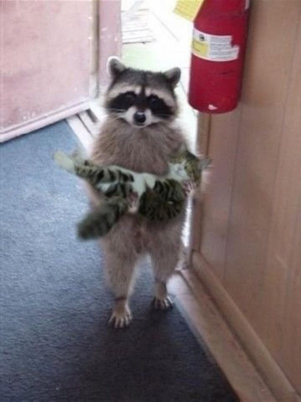 15025310-R3L8T8D-650-cat-and-raccoon-friendship.jpg