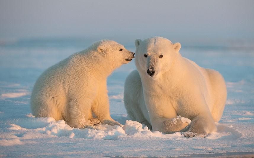 POTD_Polar_bears_2844180k