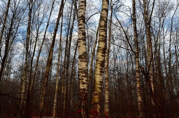Троицкий лес Октябрьский пр3