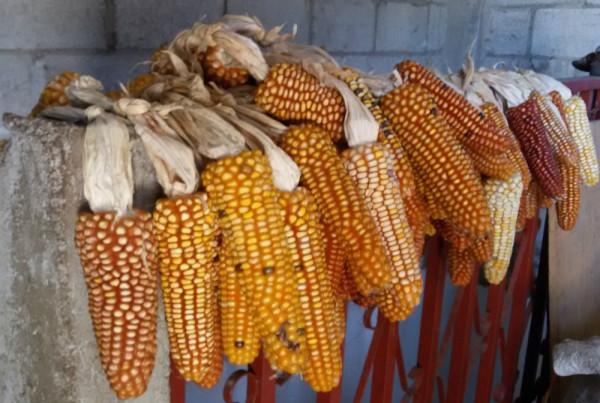 кукуруза на балконе.jpg