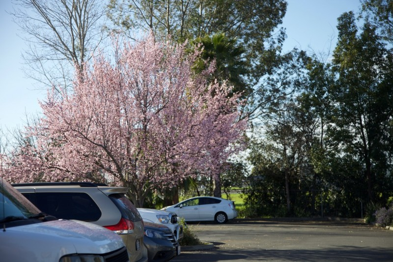 В Сакраменто уже настоящая весна