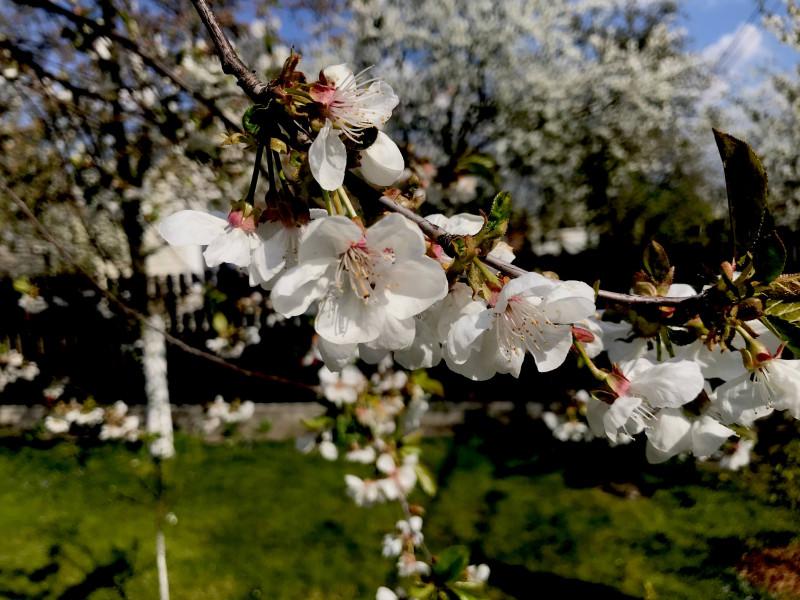 Торжество жизни над смертью видно в расцветающей вишне  в нашем огороде