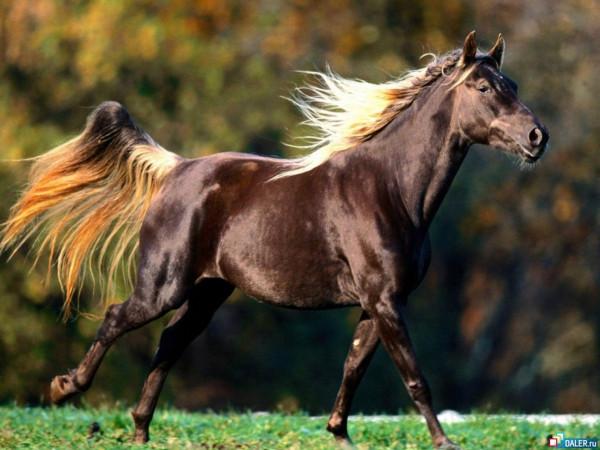 лошадка_темная