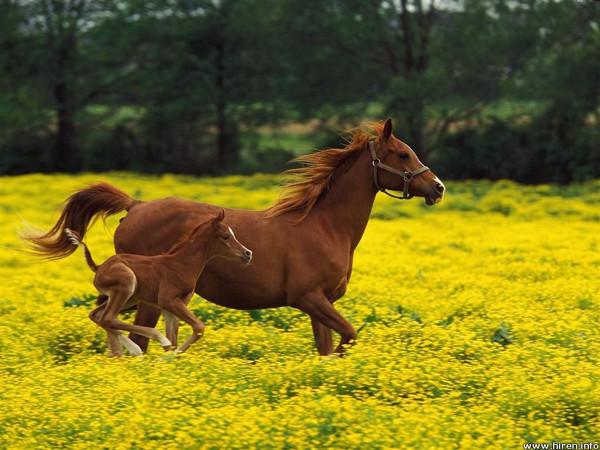arabian-mare-and-foal_louisville_kentucky