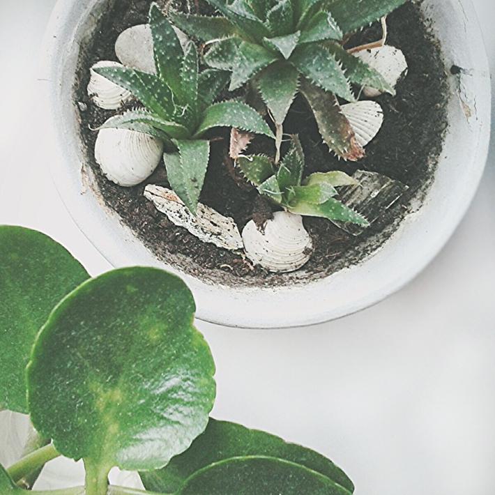 комнатные растения суккуленты