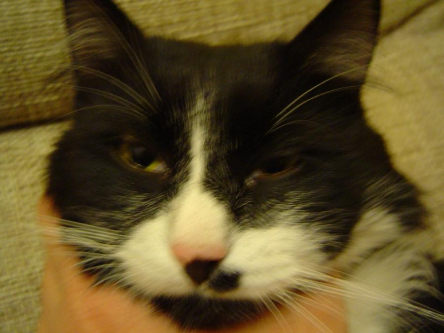 Флюс у кота чем лечить в домашних