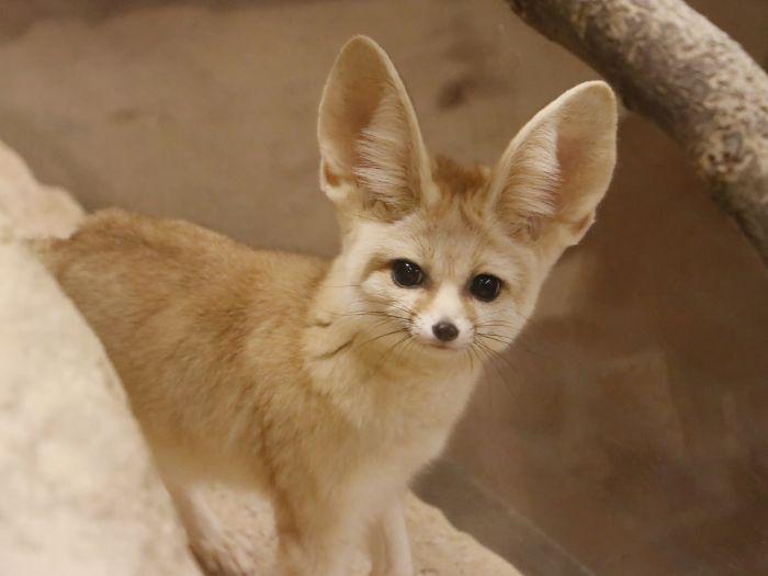 Миниатюрная лисица с крупными относительно тела ушами, которая живёт в пустынях Северной Африки. Иногда её относят к особому роду Fennecus. Своё имя этот зверёк получил от арабского слова fanak, что на одном из разговорных диалектов означает «лиса».
