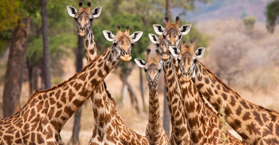 Giraffe-Ruaha-National-Park-Marius-Swart-main-LR