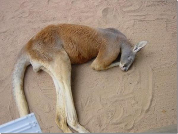 кенгуру в сп ночи