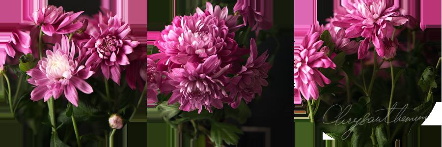 ChrysanthemumB