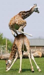 жирафф.jpg