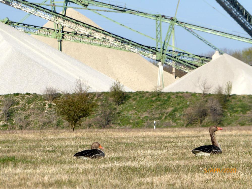 Птицы отдыхают поблизости от места добычи природного гравия.