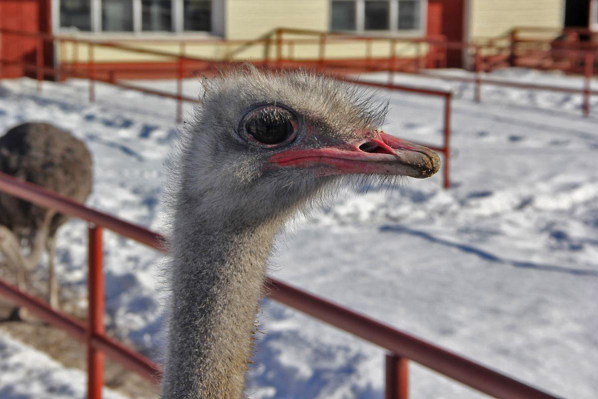 страусиная ферма курган официальный сайт фото теперь
