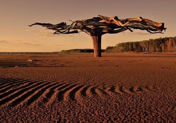 необычное дерево на Каме