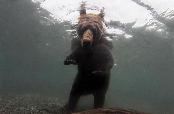 камчатка, медведь