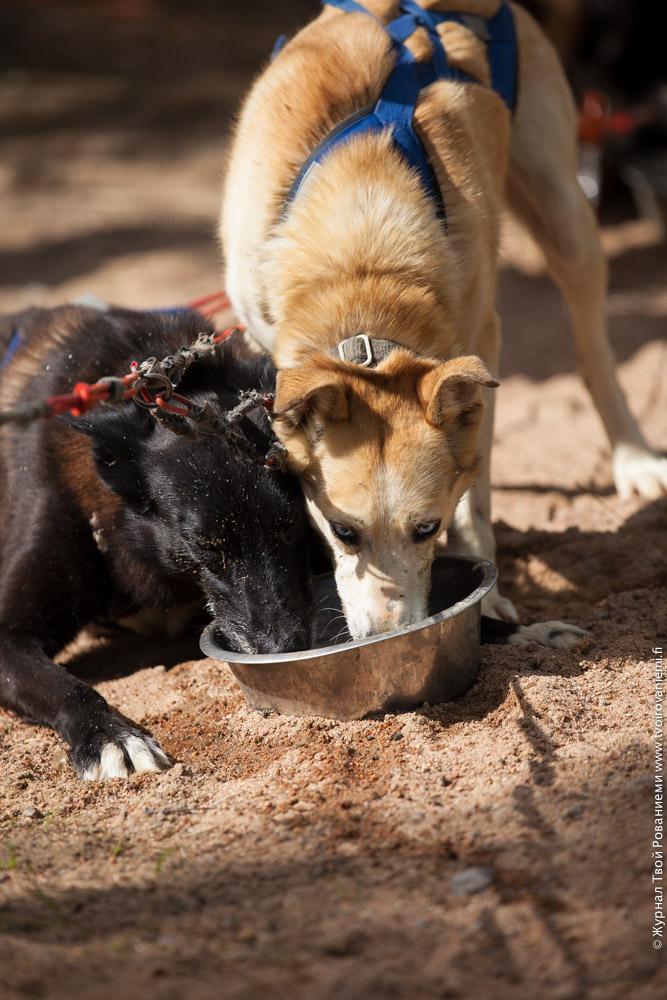 После катания туристов собаки хотят пить.