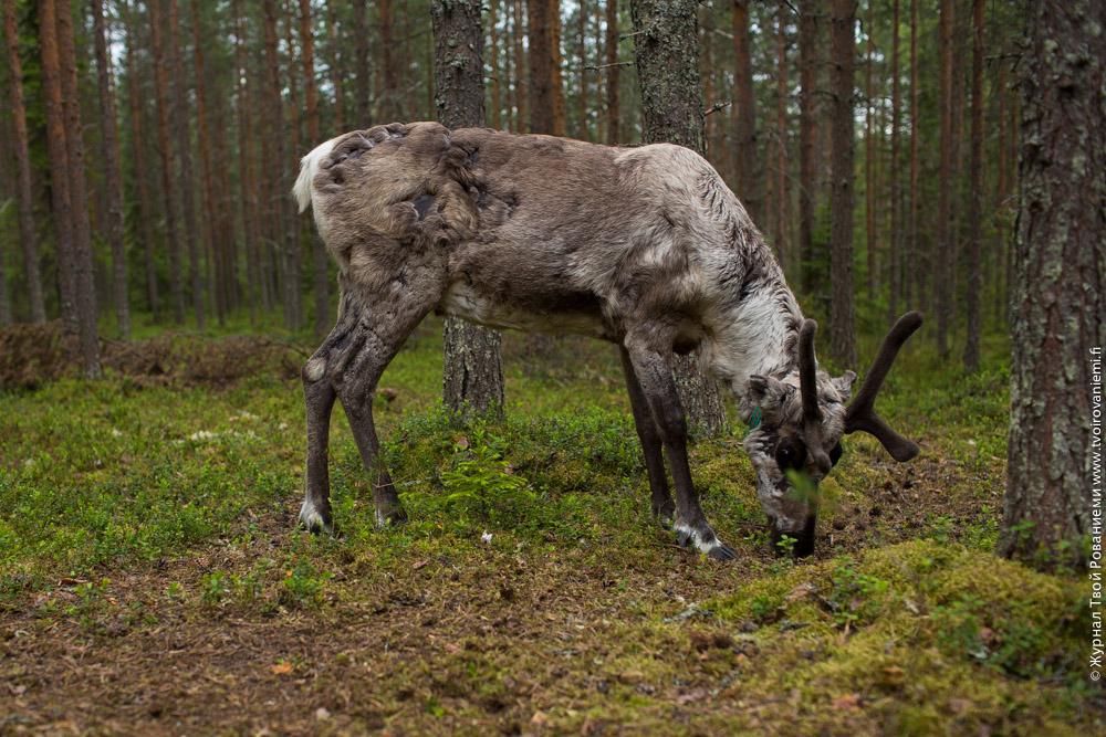 Олени в Лапландии живут по большей части вольными в лесу.
