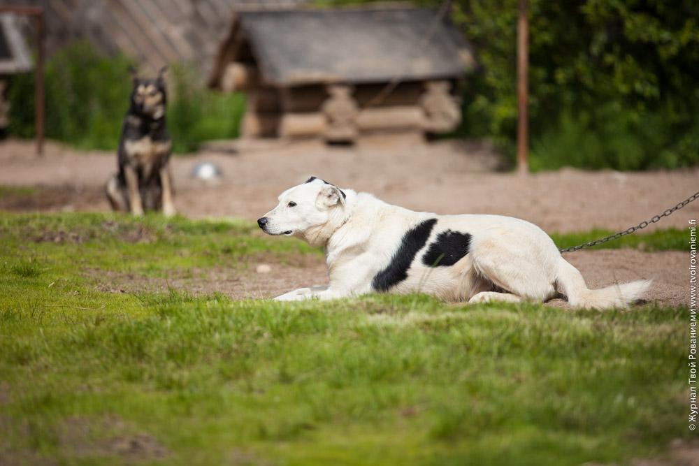 Собаки лайки на ферме Хаскипоинт в Рованиеми.