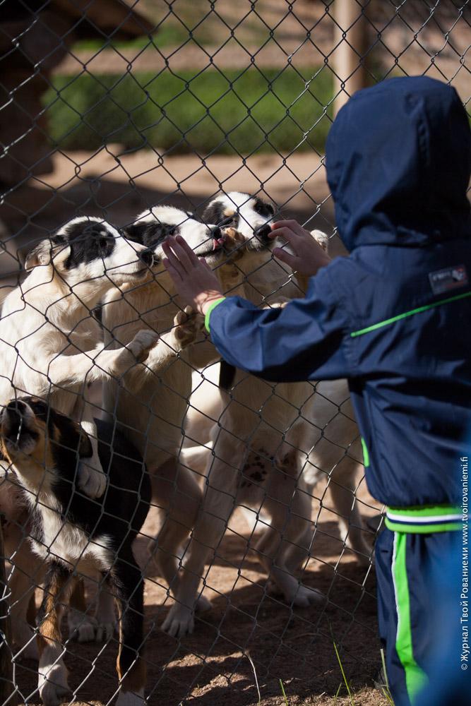 Месячные щенки на ферме Хаски Поинт.