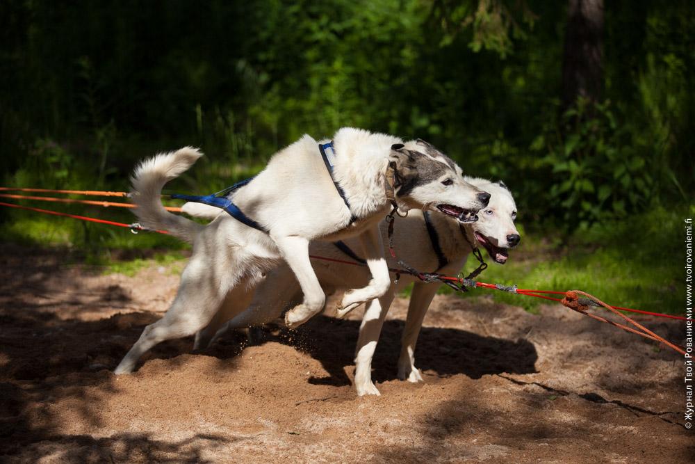 Собаки рвутся в бой.