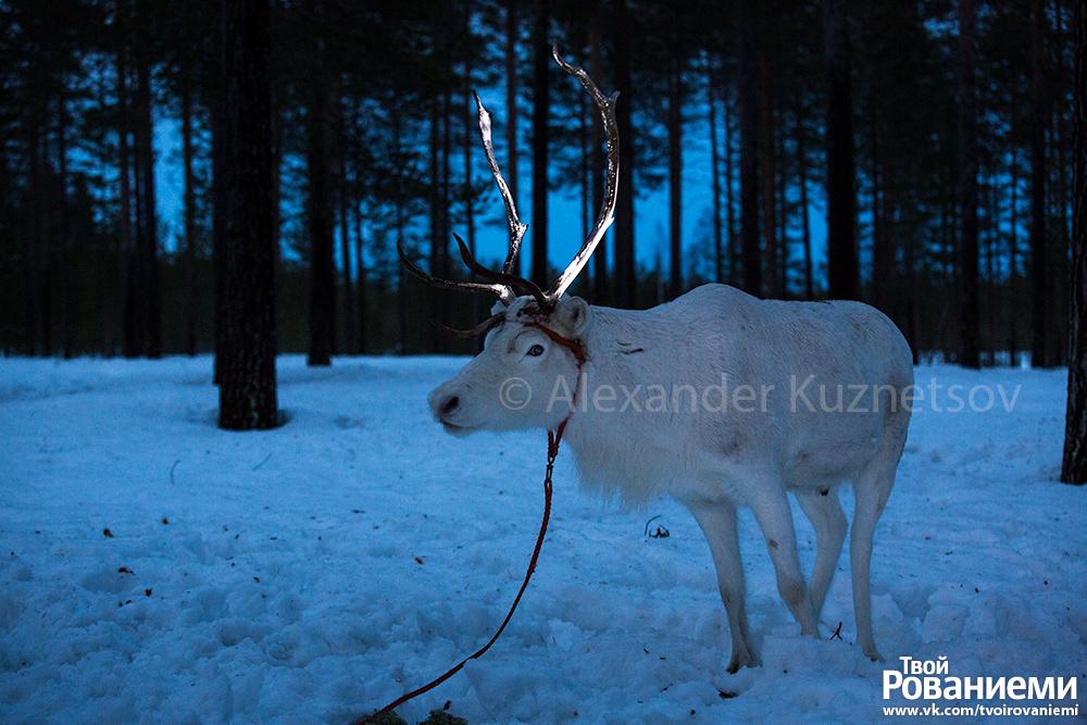 Олень с рогами, покрашенными флуоресцентной краской