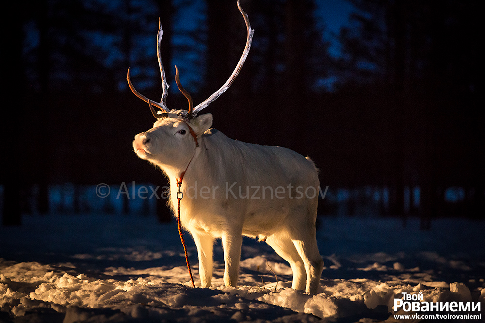 Тестирование люминисцентной краски на рогах оленя