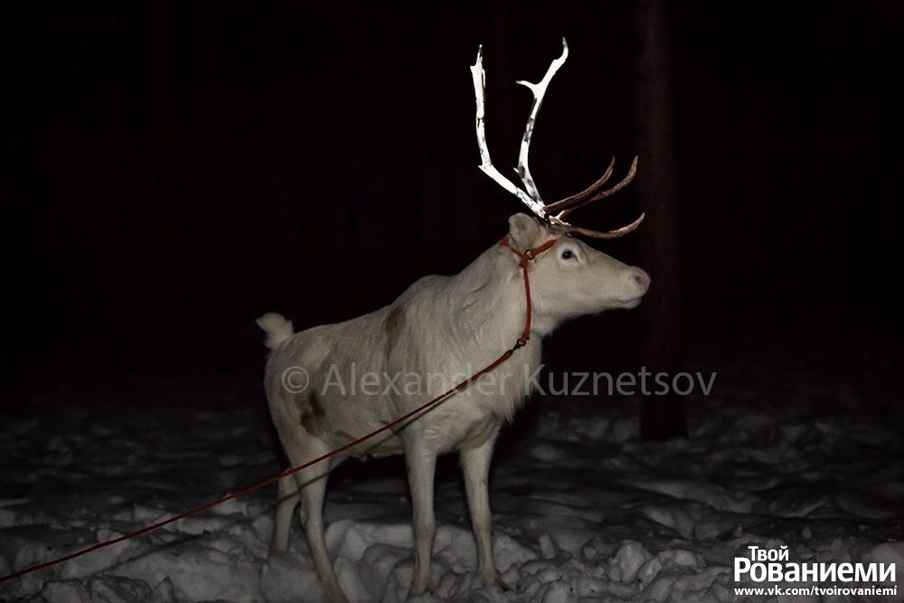 Со светящимися рогами олень заметен издалека