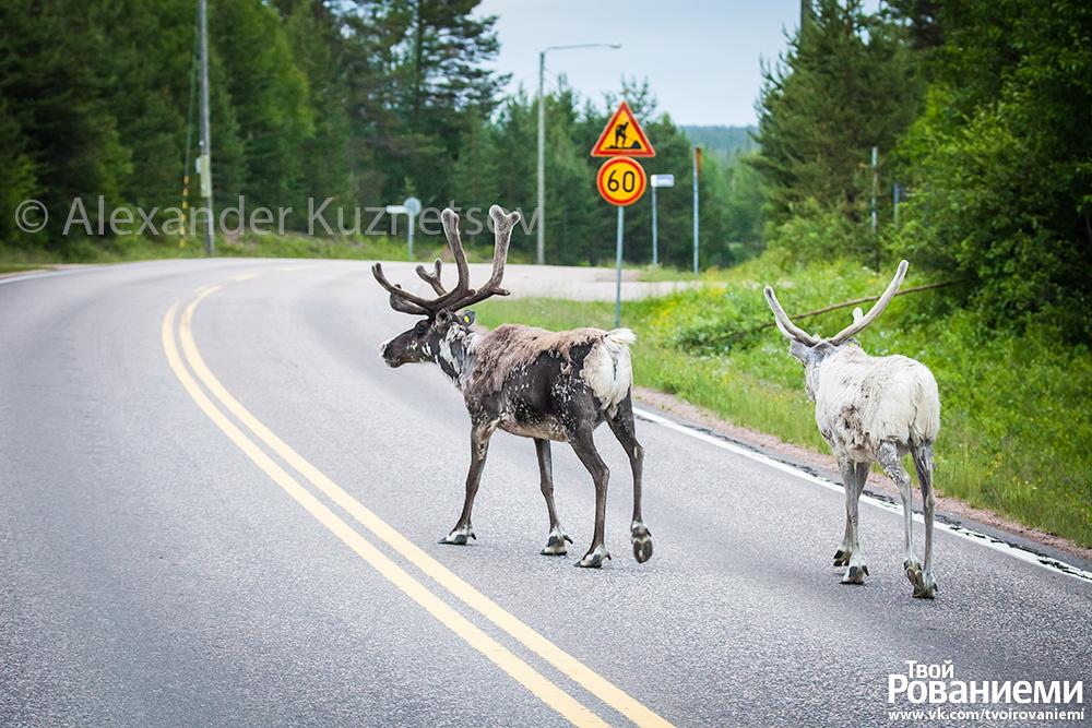 В Лапландии олени часто выходят на дороги