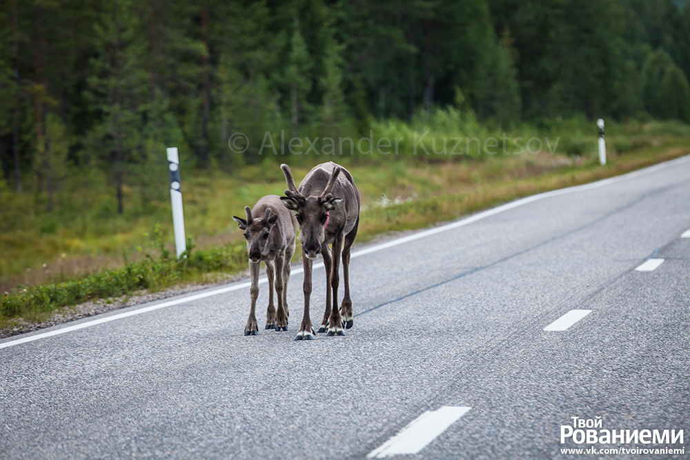 Олени на дорогах Лапландии