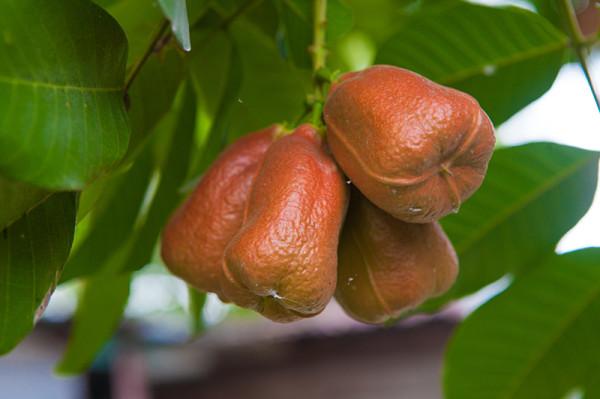 jamaican fruit