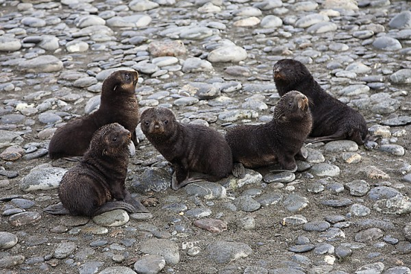 seal puppies